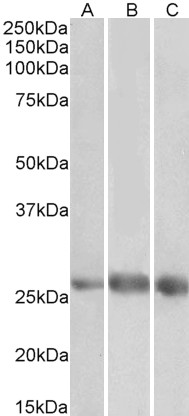 WB - Goat Anti-EGFL7 Antibody (internal region) AF4252a