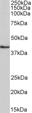 WB - Goat Anti-HMBS Antibody (internal region) AF4265a