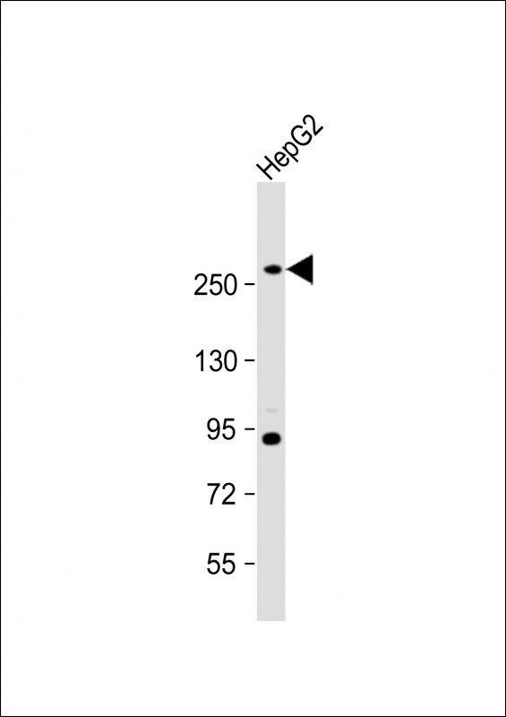 WB - FASN Antibody (Center) AM2067B