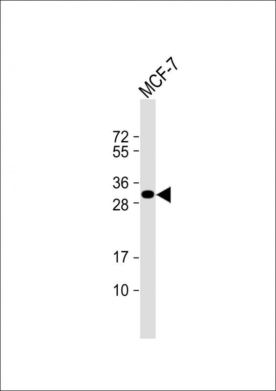 WB - Latexin Antibody (Center) AP1467c