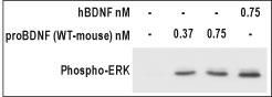 WB - proBDNF Protein (WT-mouse) PG10001