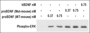 WB - proBDNF Protein (Mut-mouse) PG10002-001