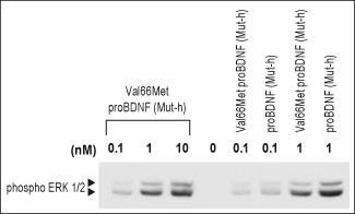 WB - Val66Met proBDNF Protein (Mut-human) PG10007-001