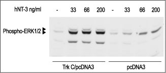 WB - hNT-3 Protein PG10031-005