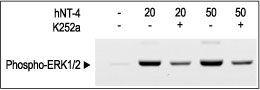 WB - hNT-4 Protein PG10032-005