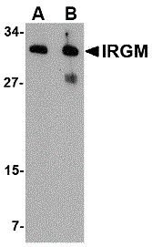 WB - Anti-IRGM (Internal Region) Antibody  ABD10040