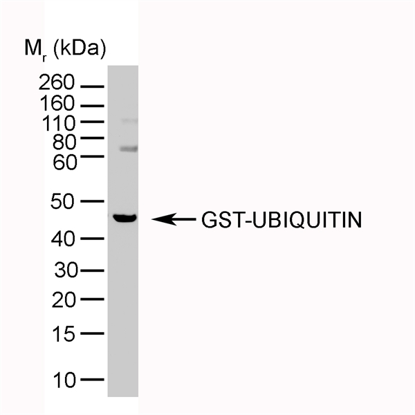 WB - Anti-Ubiquitin Antibody, clone 1B4-UB  ABD10098