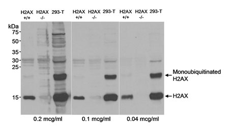 WB - Anti-Human Histone H2AX Antibody  ABD11458