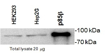WB - Anti-PI-3 Kinase p85 Subunit beta Antibody, clone T15  ABD11553