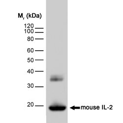 WB - Anti-Mouse Interleukin-2 Antibody, clone JES6-1A12  ABD11586