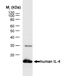 WB - Anti-Human Interleukin-4 Antibody, clone MP4-25D2  ABD11592
