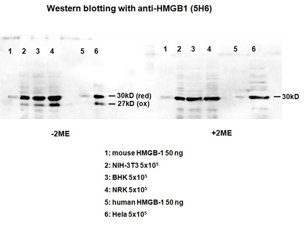 WB - Anti High Mobility Group Protein B1 Antibody, clone HMG1-5H6  ABD12771