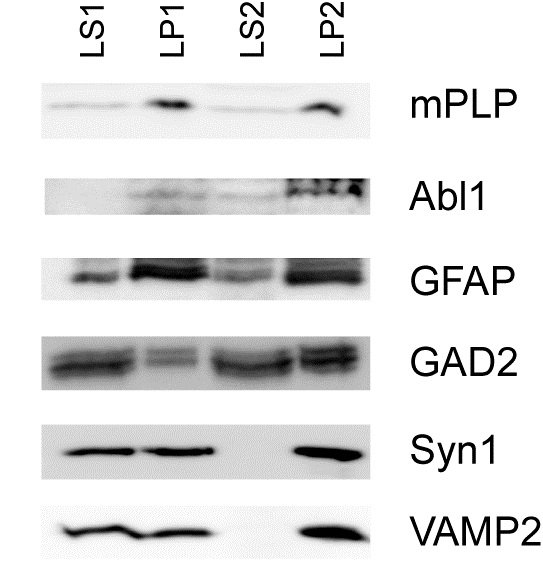 WB - Anti Myelin Proteolipid Protein Antibody, clone plpc1  ABD12896