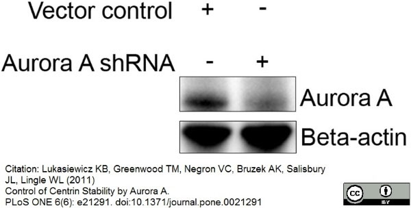 WB - Anti Aurora-A Kinase Antibody, clone 35C1  ABD13399