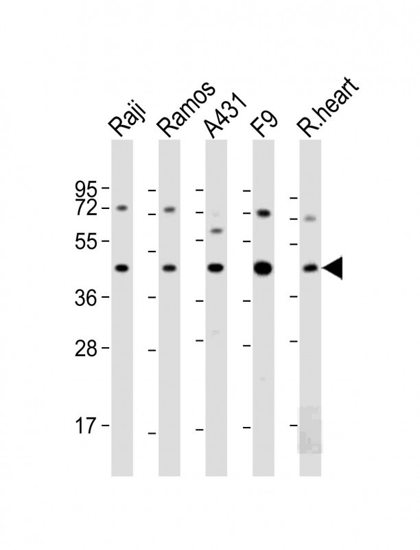 WB - MCL1 Antibody (BH3 Domain Specific) AP1312a