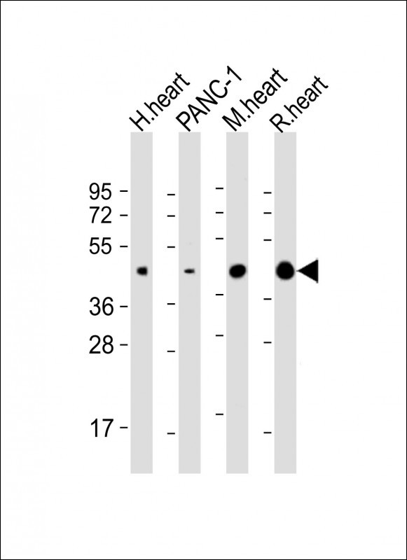 WB - WNT5A Antibody (Center) AP5682c