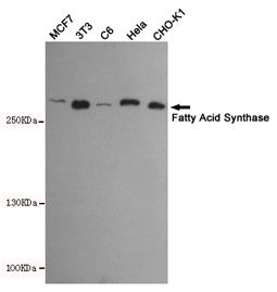 WB - Anti-Fatty Acid Synthase Antibody AP53449