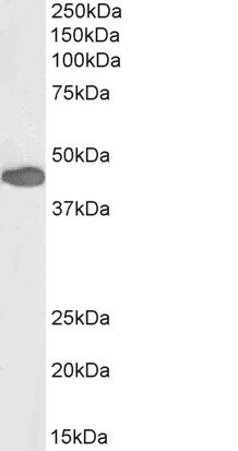 WB - Anti-PAX3 Antibody (N-term), Biotinylated AF4279a