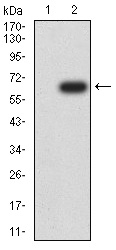 WB - Mouse Monoclonal Antibody to DNMT1 AO2326a