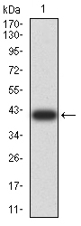 WB - Mouse Monoclonal Antibody to LGALS1 AO2356a
