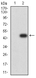 WB - Mouse Monoclonal Antibody to TTF1 AO2366a