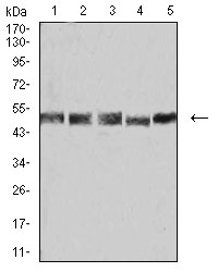 WB - Mouse Monoclonal Antibody to UFD1L AO2394a
