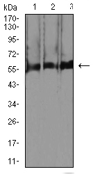 WB - Mouse Monoclonal Antibody to RBFOX3 AO2413a