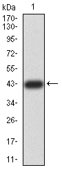 WB - Mouse Monoclonal Antibody to ZFP91 AO2418a