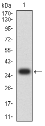 WB - Mouse Monoclonal Antibody to MUC5AC AO2433a