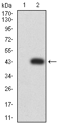 WB - Mouse Monoclonal Antibody to RALB AO2448a