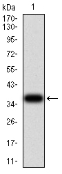 WB - Mouse Monoclonal Antibody to THBS1 AO2467a