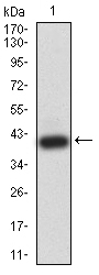 WB - Mouse Monoclonal Antibody to BRD2 AO2481a