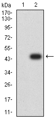 WB - Mouse Monoclonal Antibody to CBX7 AO2489a