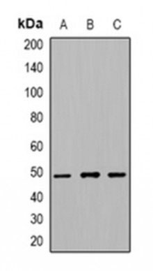 WB - Anti-Beta-tubulin Antibody ABV11947-100
