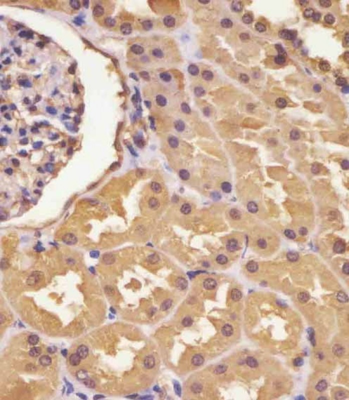 IHC-P - ASS Antibody (Center) AP6829c