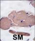 Myostatin (GDF8) Antibody (N-term)