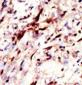 Pan SUMO Antibody
