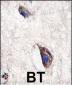 DKK3 Antibody (N-term)