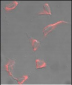 Nestin Antibody (C-term)