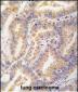 ATG12 Antibody (N-term)