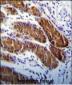 APG5 Antibody