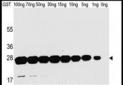 GST Antibody
