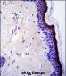 p53 Antibody (T55)