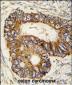 PHB2 Antibody (Y128)