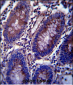 Vimentin Antibody (C-term)