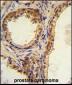 CREB3L1 Antibody (C-term)