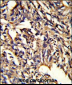 PSMD13 Antibody (C-term)