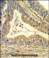 SOD1 Antibody (Center)