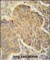 PSMD7 Antibody (C-term)