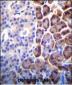 COPE Antibody (C-term)